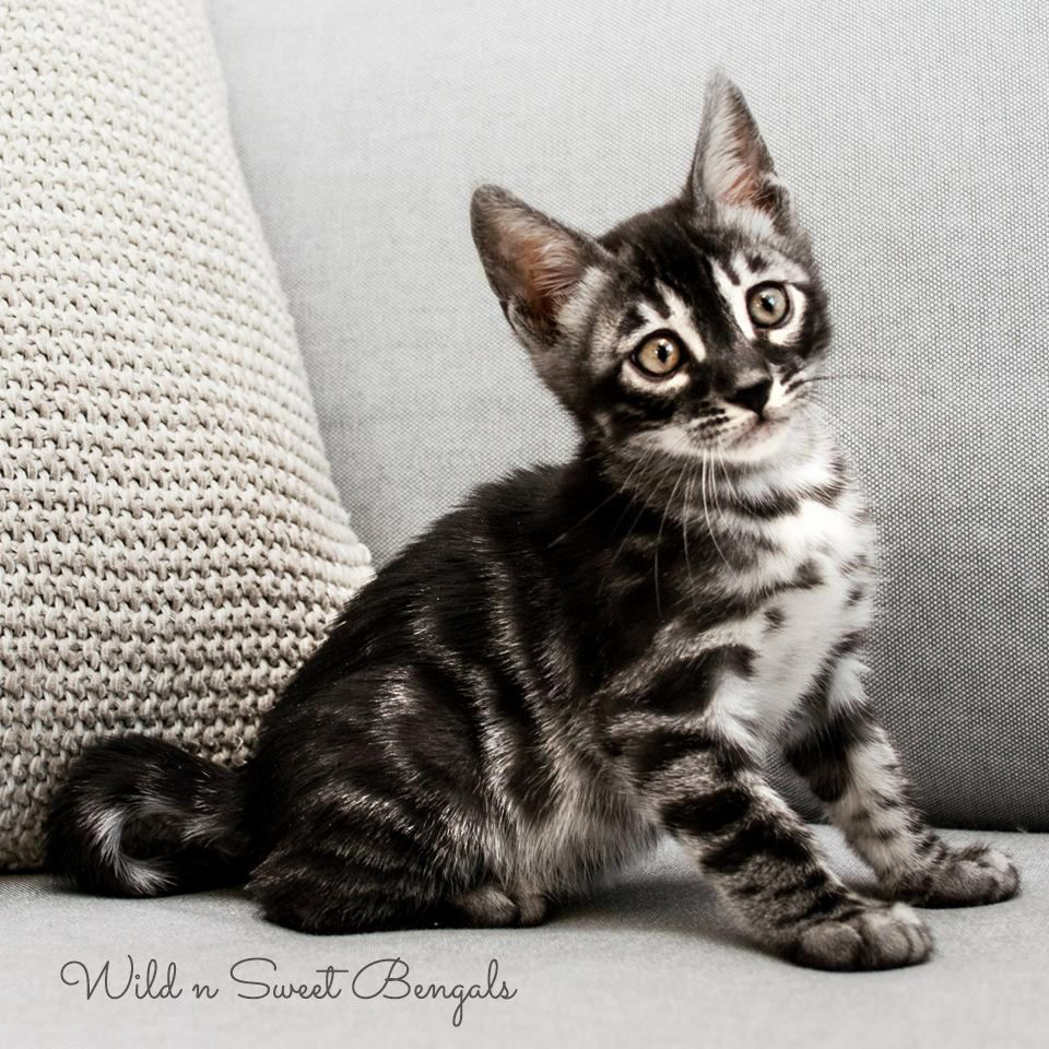 Cutest Kitten He S A Rare Silver Charcoal Bengal Cat See More