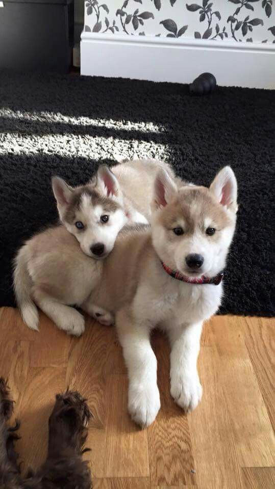 Brown Husky Puppies Cute Dogs Cute Puppies