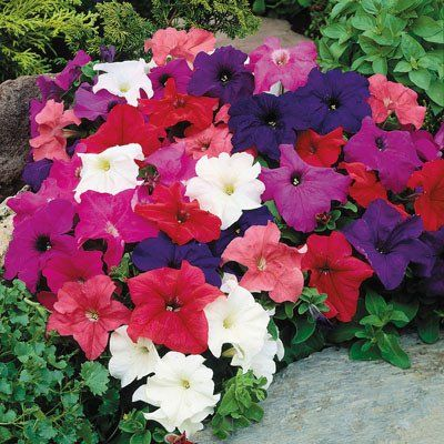 Petunia Limbo Gp Mix F1 With Images Flower Seeds Petunias
