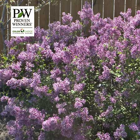 Gardenimport Lilac Bloomerang Detailed Information Bloomerang Lilac Lilac Bushes Fragrant Flowers