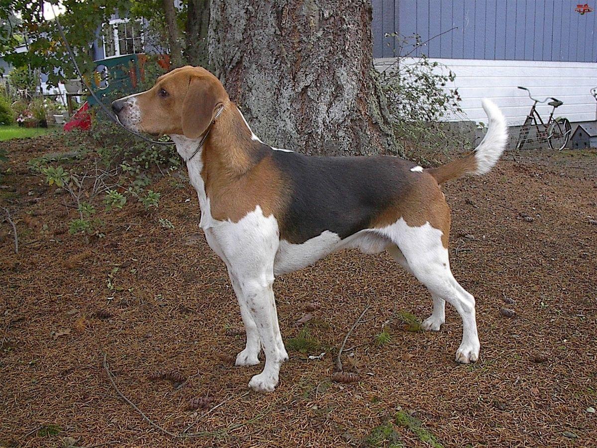 Beagle Harrier Dogs Breeds Pets Harrier Dog Dog Breeds