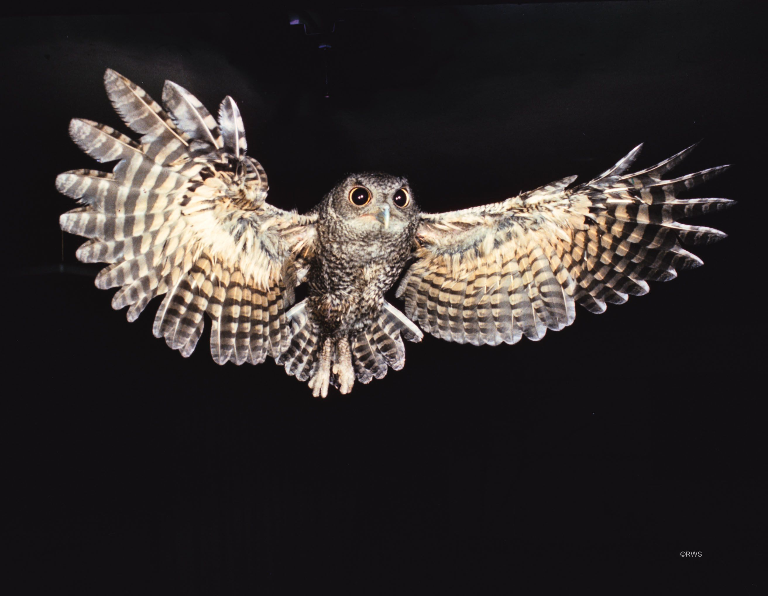 7 best owls images on pinterest barn owls children and