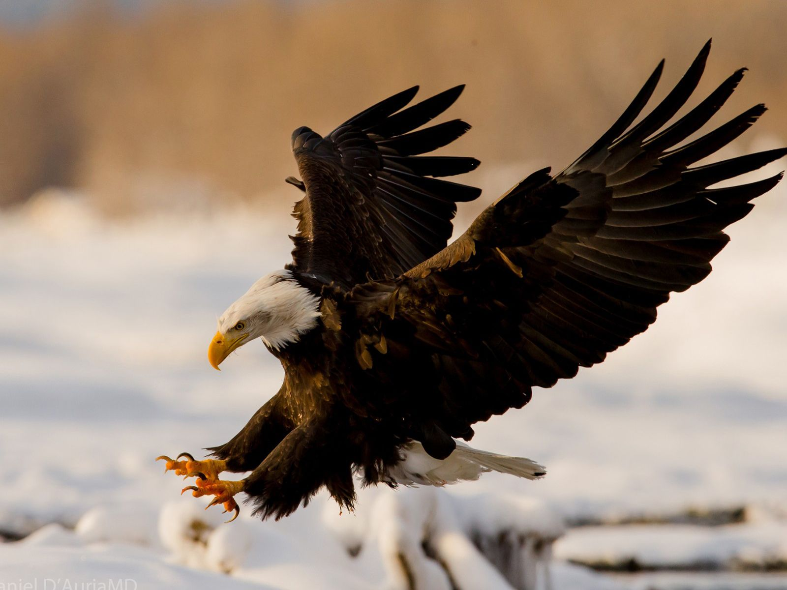 eagle attack - photo #2