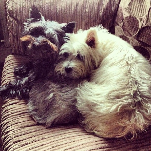 Daughter Giving Her Mum Morning Cuddles Cairn Terrier Terrier