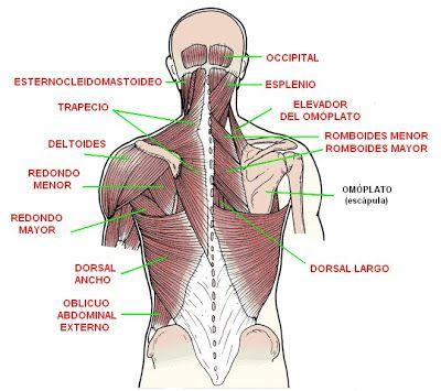 músculos de la espalda, cuello y hombros   Anatomy   Pinterest
