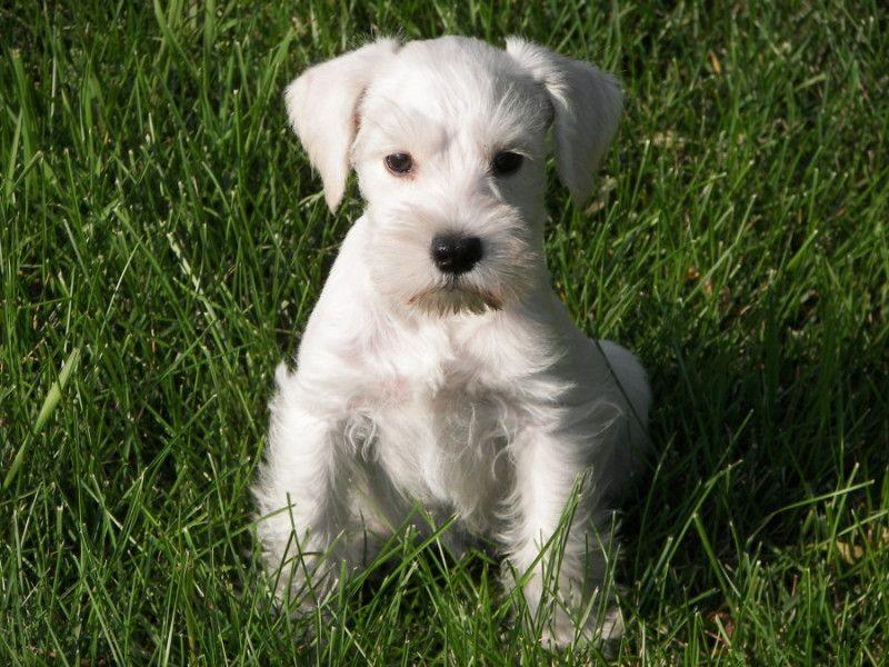 Schnauzer Love Schnauzer Puppy Miniature Schnauzer Puppies Cute Dog Pictures