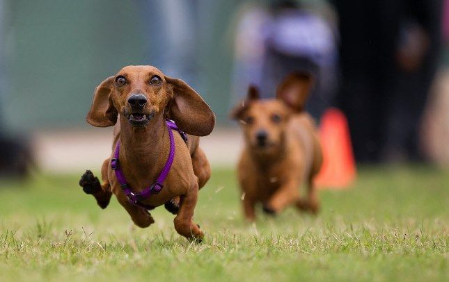 A WHAT? Festival (With images) Dachshund races, Weenie