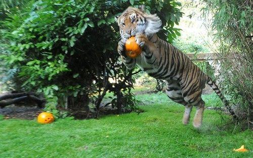 Sumatran tiger Jae Jae enjoys a pumpkin treat at London Zoo. Picture: Tony Kyriacou / Rex Features