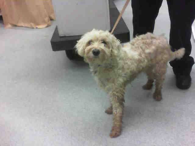 ★❥★ADOPTED★❥★~ Animal ID #A131906   ‒ I am a Male, White Miniature Poodle. The shelter thinks I am about 2 years old. I have been at the shelter since May 19, 2015.    Grand Prairie Animal Services ‒ (972) 237-8575 2222 West Warrior Trail Grand Prairie, TX Fax: (972)237-8579 https://www.facebook.com/OPCA.Shelter.Network.Alliance/photos/pb.481296865284684.-2207520000.1432599815./824945814253119/?type=3&theater