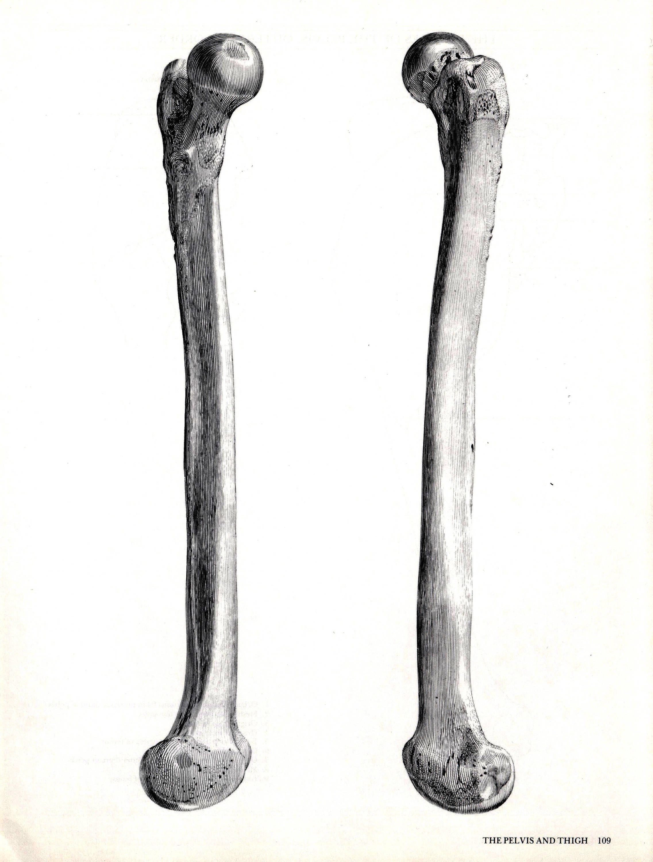 Book Plate Of Albinus Anatomy Pelvis And Thigh Bones 1 Femur