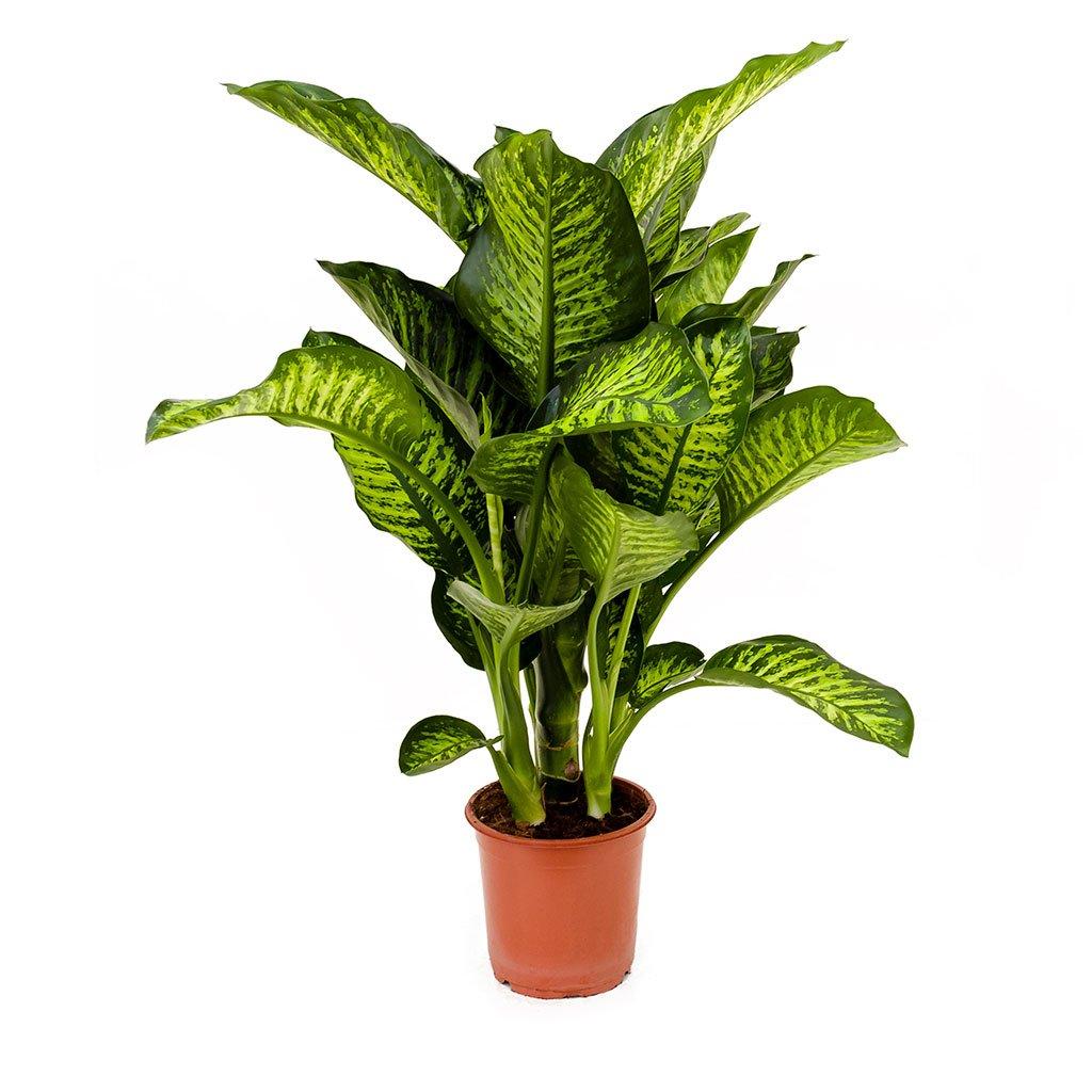 Dieffenbachia maroba dumb cane 70cm plants indoor