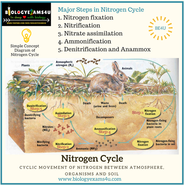 5 Steps In Nitrogen Cycle With Simple Diagram And Notes On Anammox Nitrogen Cycle Nitrogen Nitrogen Fixation