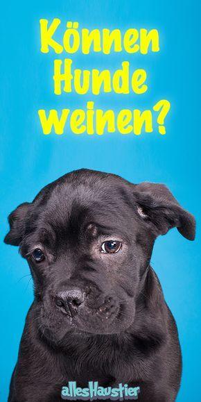 Können Hunde weinen? Alles über tränende Augen beim Hund