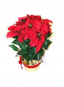 Poinsettia Care All Free Crafts Poinsettia Care Poinsettia Plant Poinsettia
