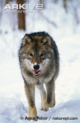 Eurasian wolf walking, front view | Wolf walking