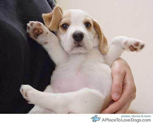 Download Pupies Chubby Adorable Dog - 922c30d87bd0208908e6de55b5eab8ff  Trends_197786  .jpg