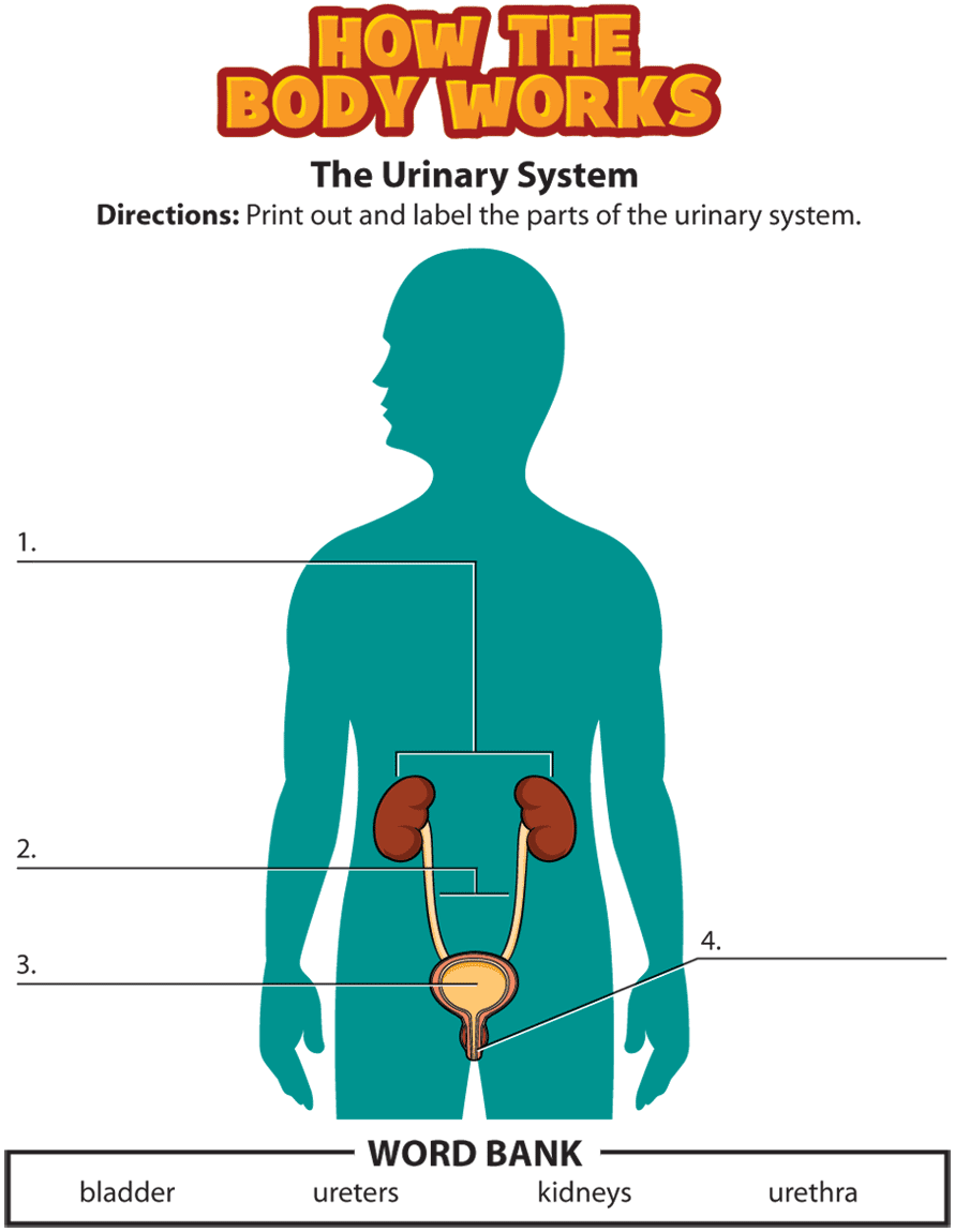 urinary system activity.png | School - science | Pinterest ...