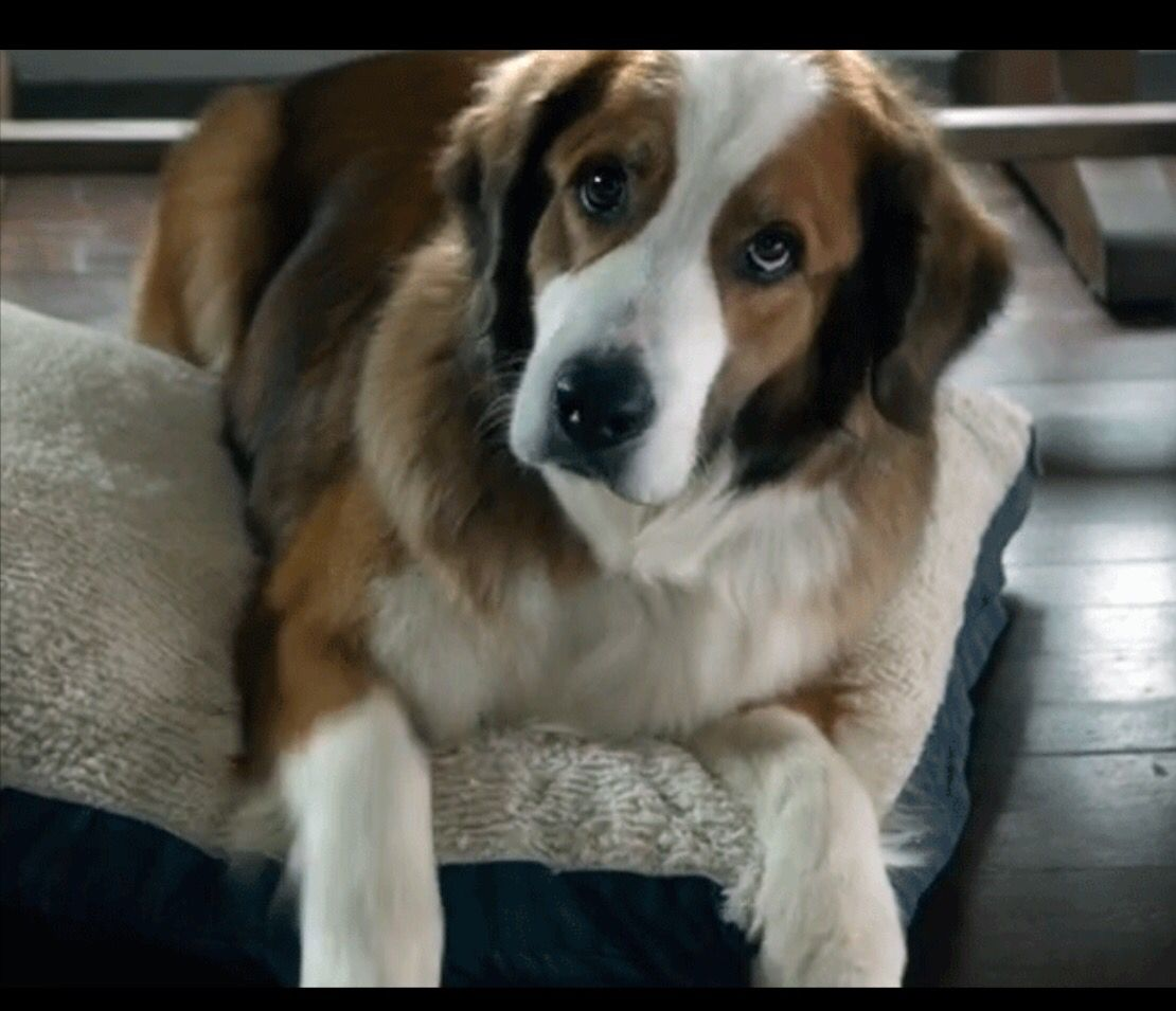 Australian Shepard St Bernard Mix Animals Pinterest Dogs