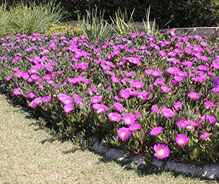 Aussie rambler carpobrotus is a native groundcover plant with large aussie rambler carpobrotus is a native groundcover plant with large pink flowers native shrubs mightylinksfo Image collections