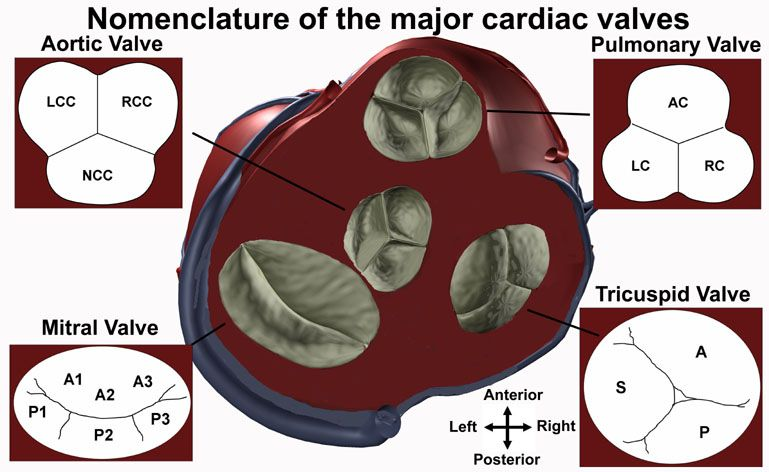 Aortic Valve Cusps On Echo University Of Minnesota School