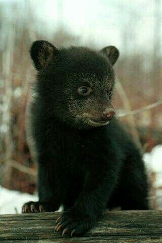 Black bear cub @meetanimals