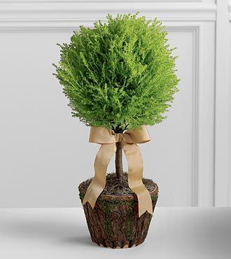 Lemon Cypress topiary