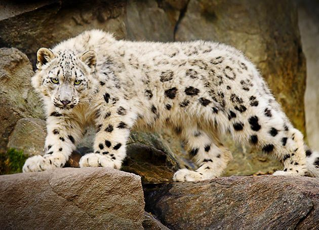 Snow leopard <3