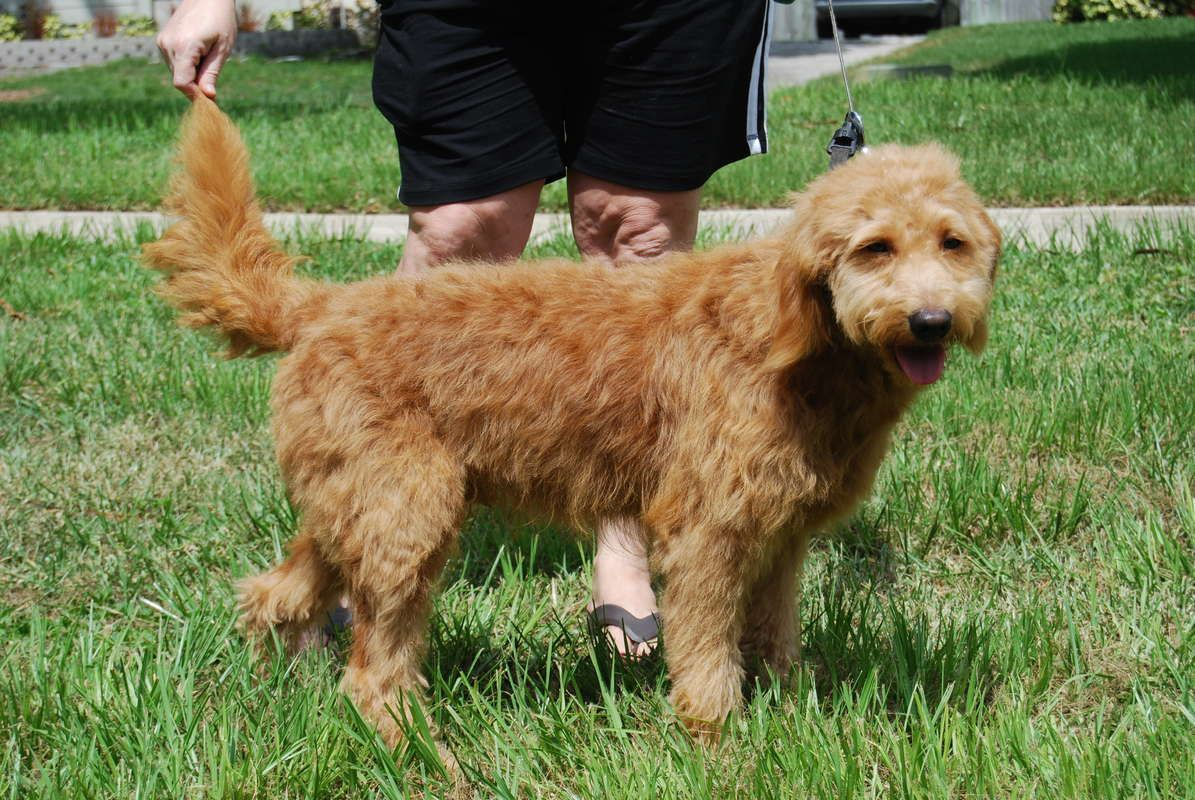 Red Moyen Goldendoodle Available For Stud Services Only In
