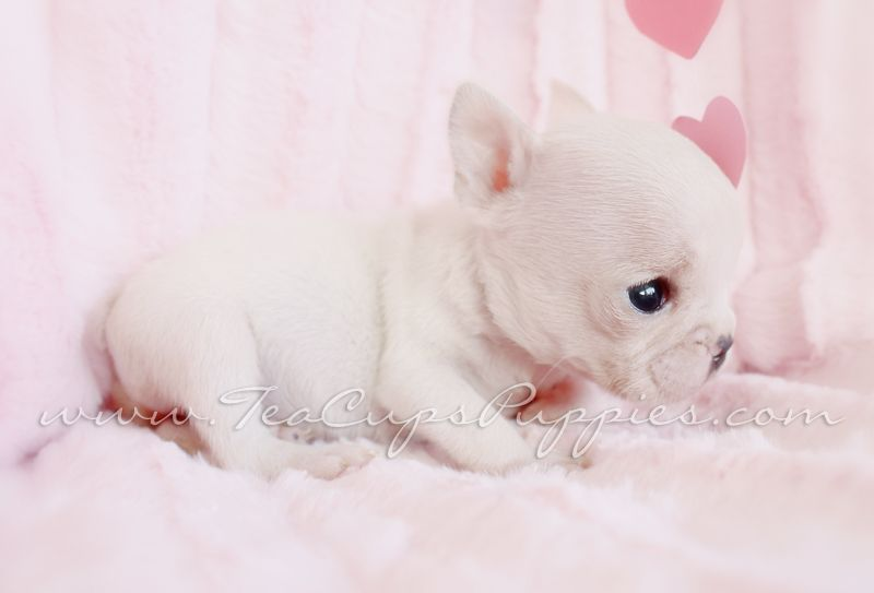 Tiniest Most Adorable French Bulldog Puppy Ever French Bulldog Frenchie Puppy Teacups Teacup Puppies French Bulldog Puppies Puppies
