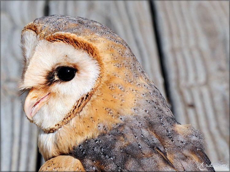 Photo Chouette Effraie du Zoo de la Flèche