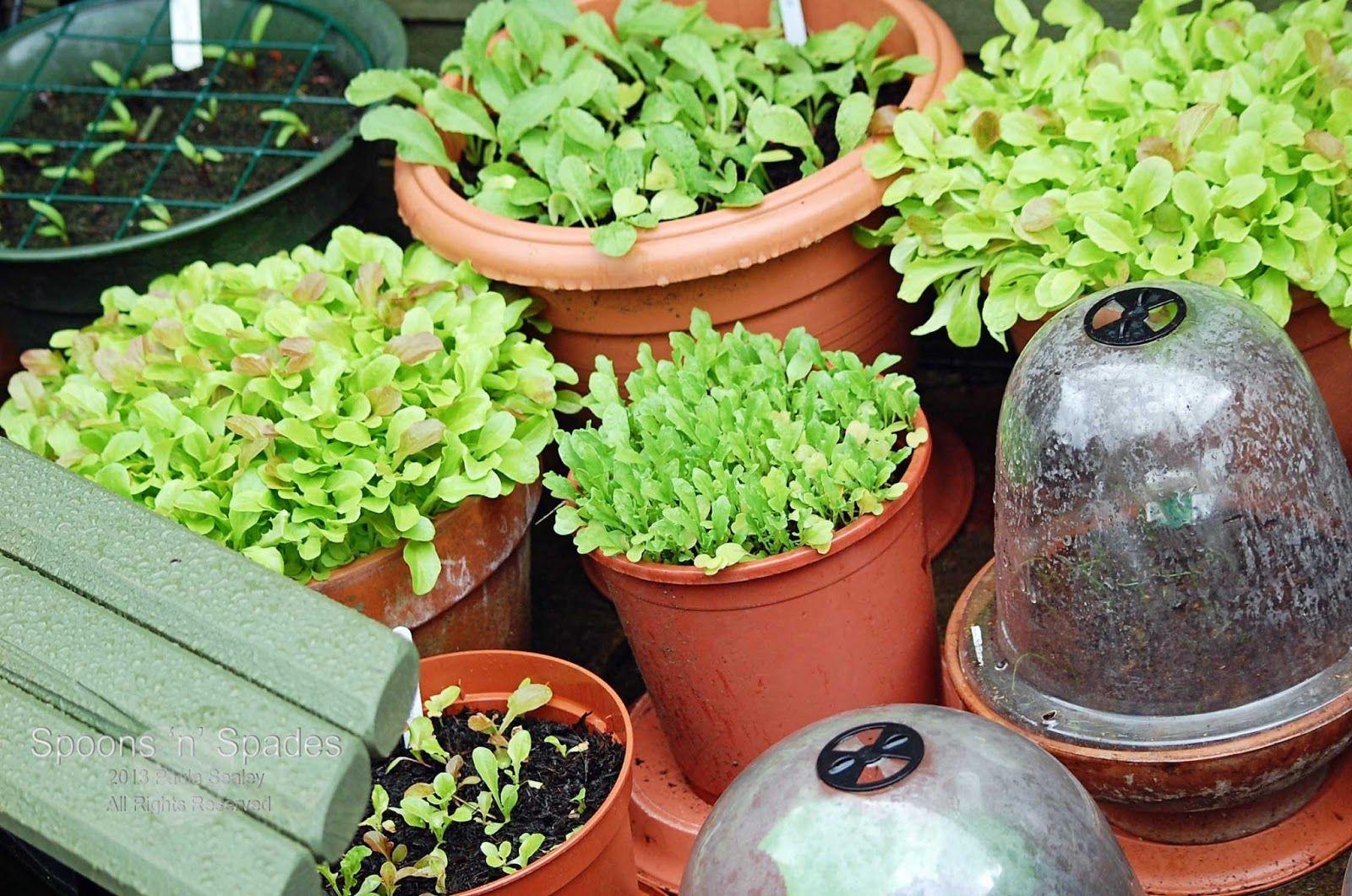 Home Vegetable Garden In Pots