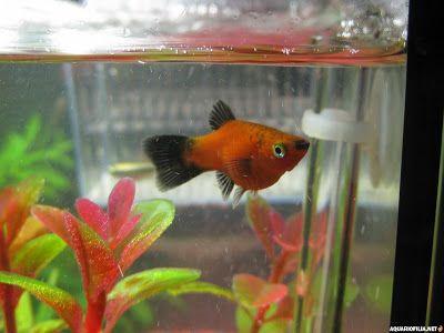 RENOVAÇÃO: Peixes Ornamentais Brasileiros....