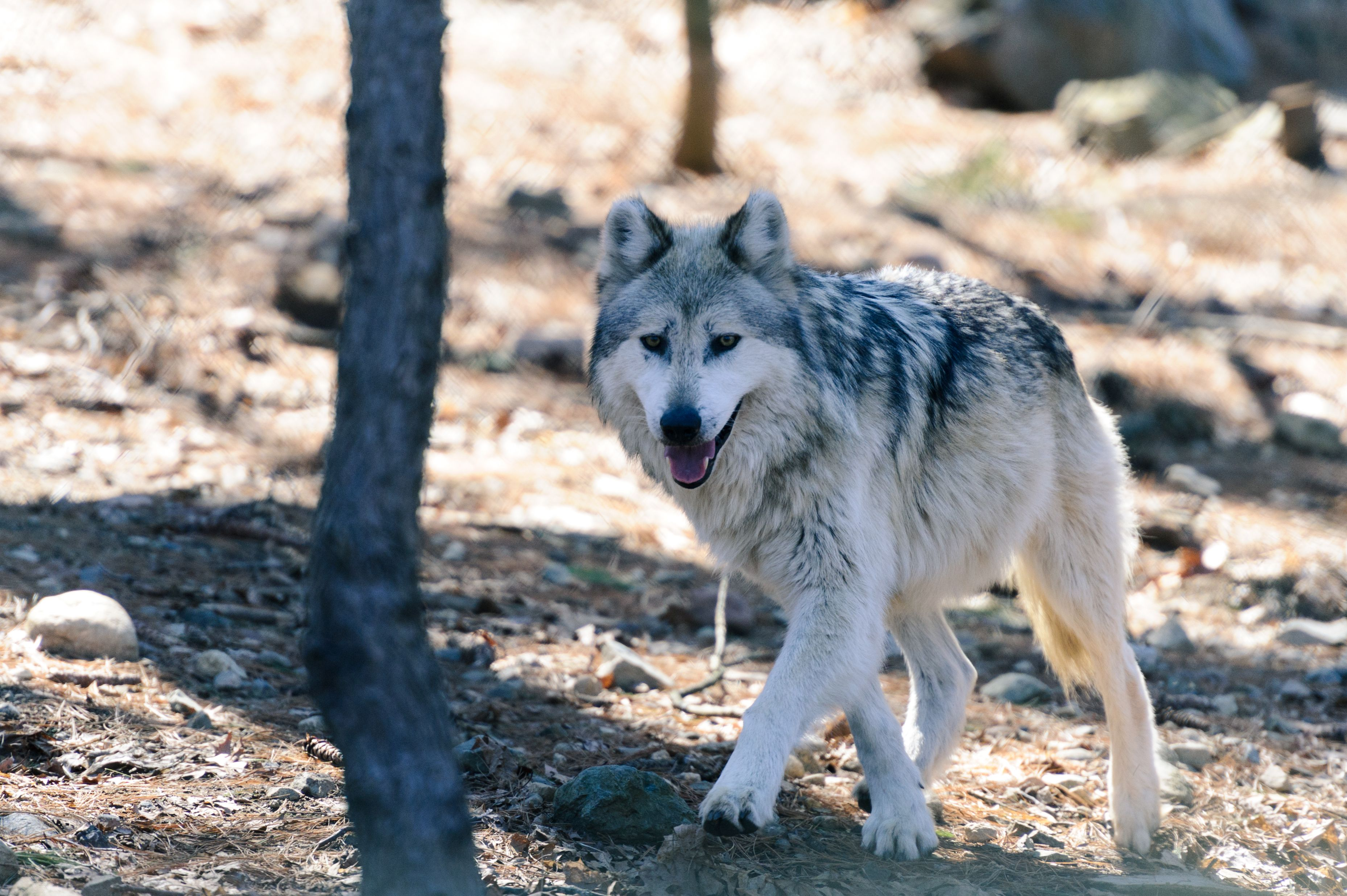 A Mexican Gray Wolf At A Zoo In Massachusetts Mexican Gray Wolf Grey Wolf Wolf Photos