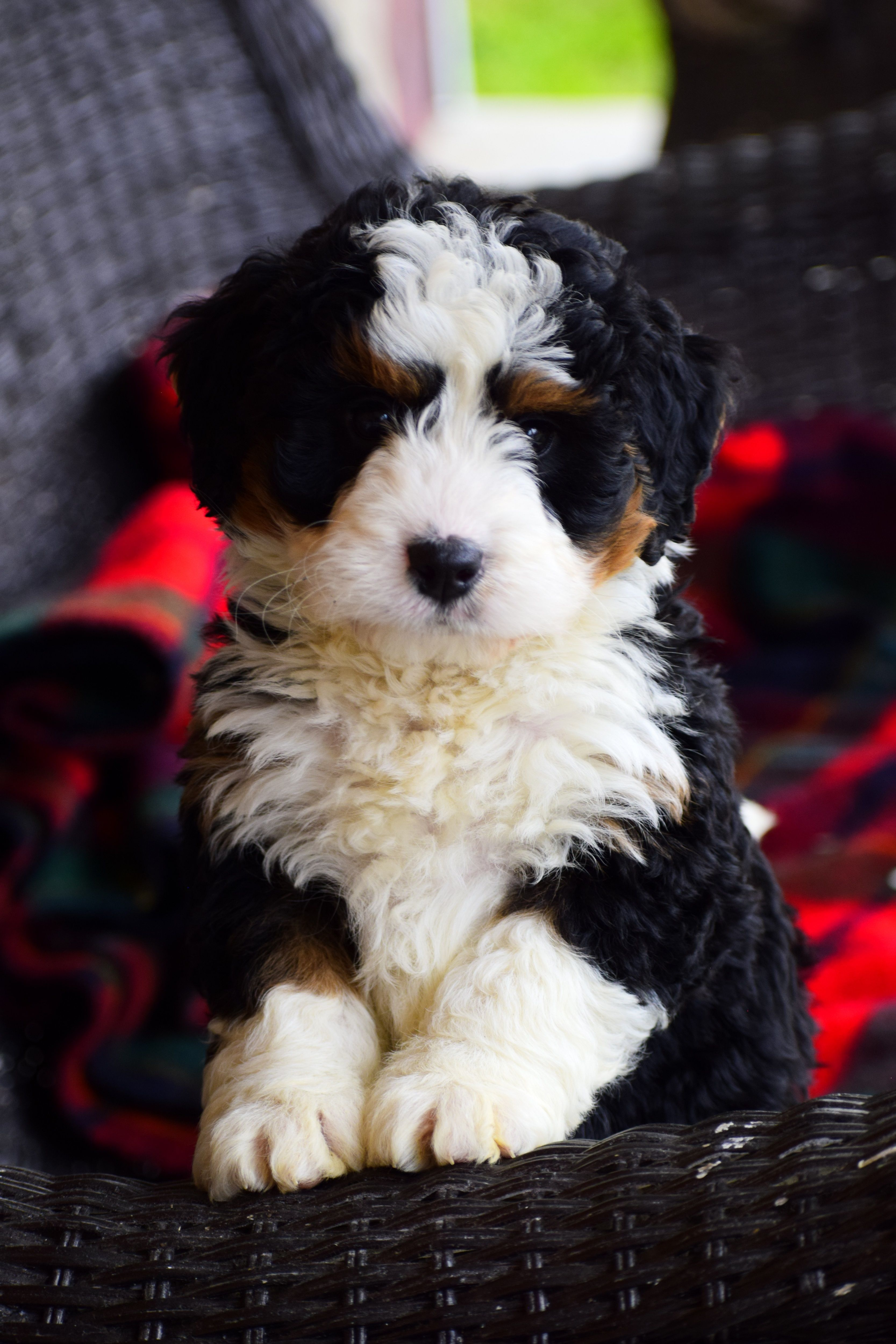 Pin By Marissa R On Dogs In 2020 Bernedoodle Puppy Puppies Mini Bernedoodle