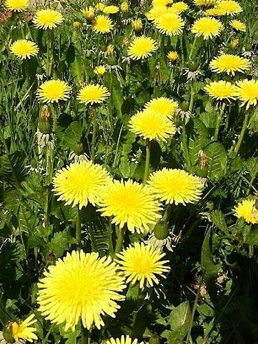 About Dandelions Most Beautiful Flowers Dandelion Blossoms Art