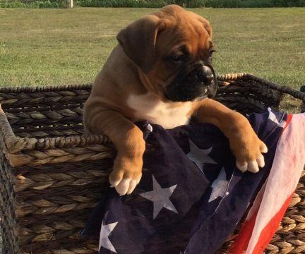Boxer Puppy For Sale In Seneca Ks Adn 43889 On Puppyfinder Com