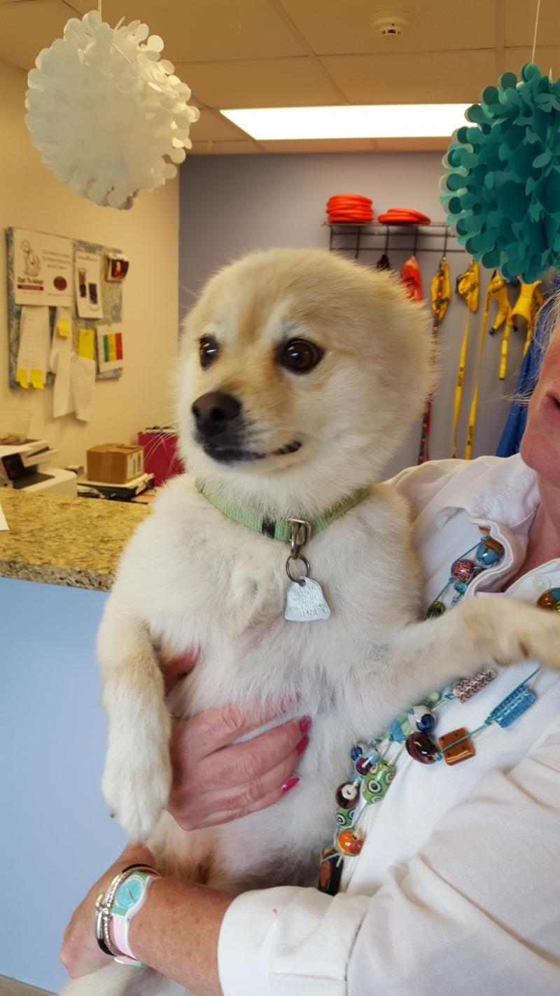 Adopt Sammy on Adoption, Pomeranian mix, Humane society