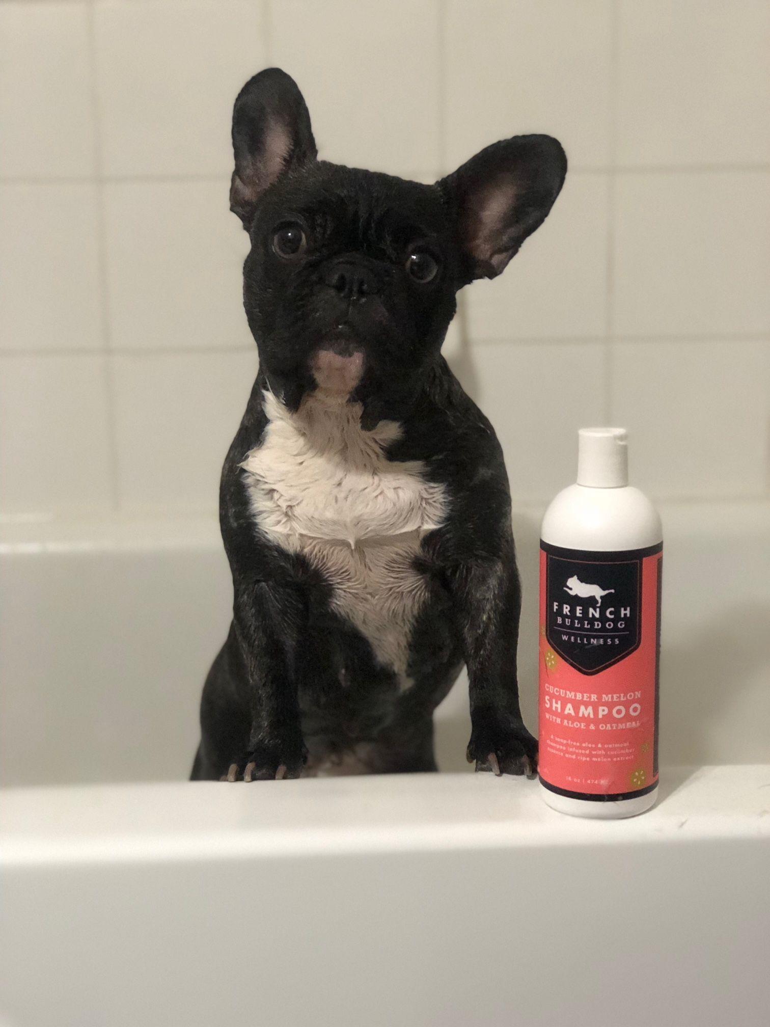 Hailey And Her Favorite Shampoo Beautifulbulliezz Bulldog