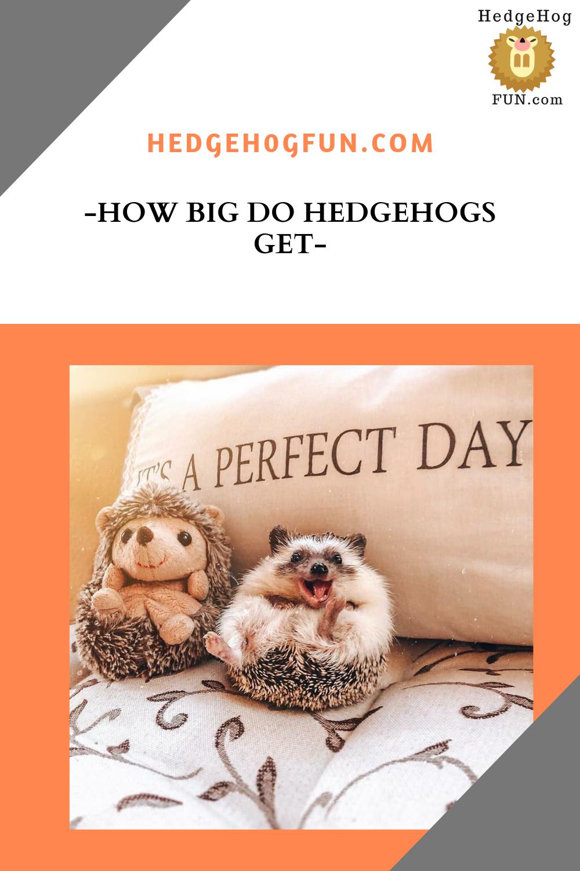 How Big Do Hedgehogs Get Hedgehog pet, Hedgehog