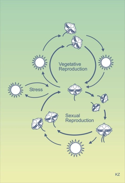 Paradoxical sleep occurs during asexual reproduction