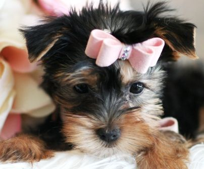 Teacup Yorkie Pupies For Sale Yorkie Puppies For Sale Yorkie