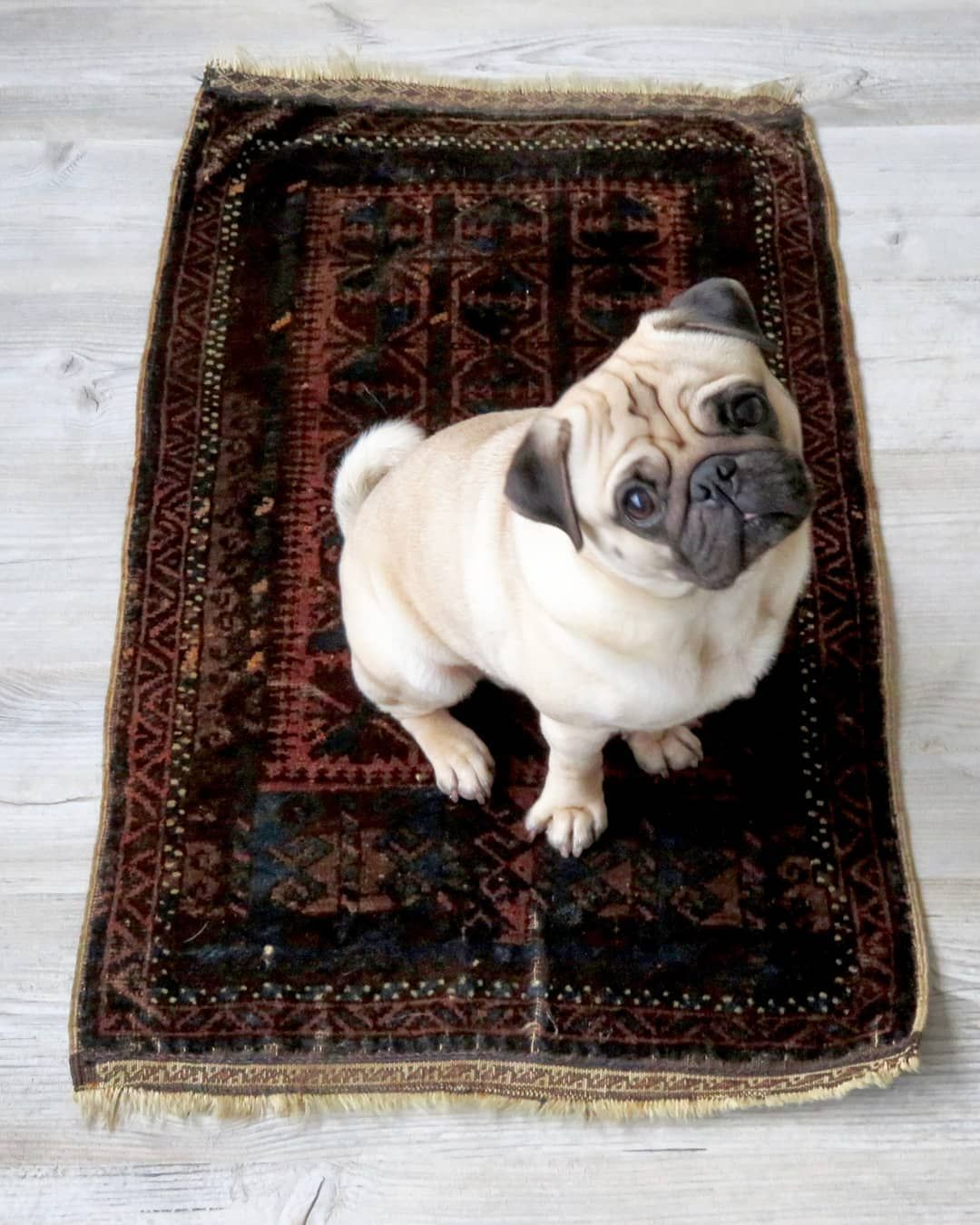 Bertje Modeling Another Vintage Persian Or Iranian Rug Or Wall Hanging In Warm Earth Tones Persianrug Iraniancarpet S Iranian Rugs Pugs Carpet Runner