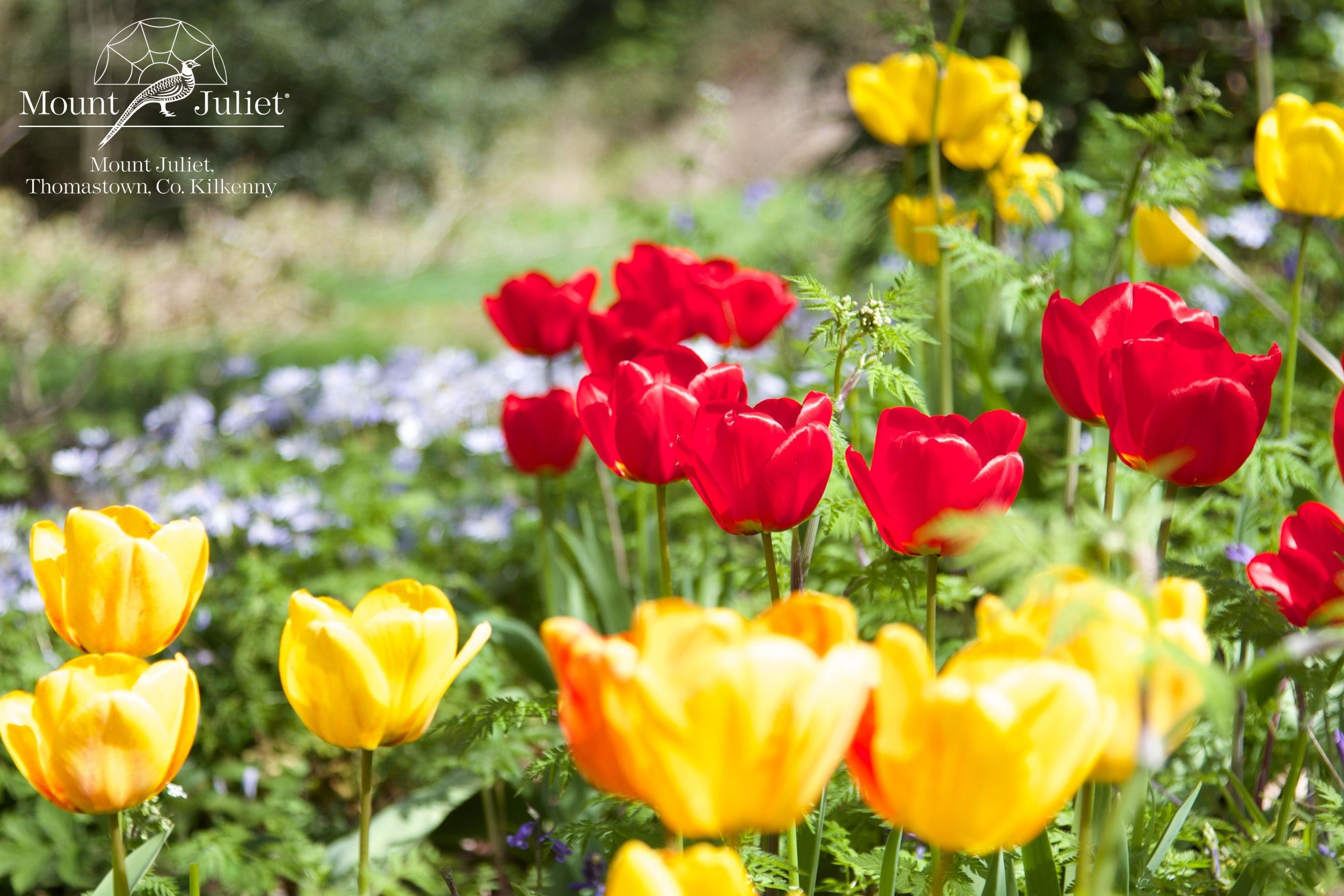The tulips are currently in full bloom at Mount Juliet. http://www.mountjuliet.ie