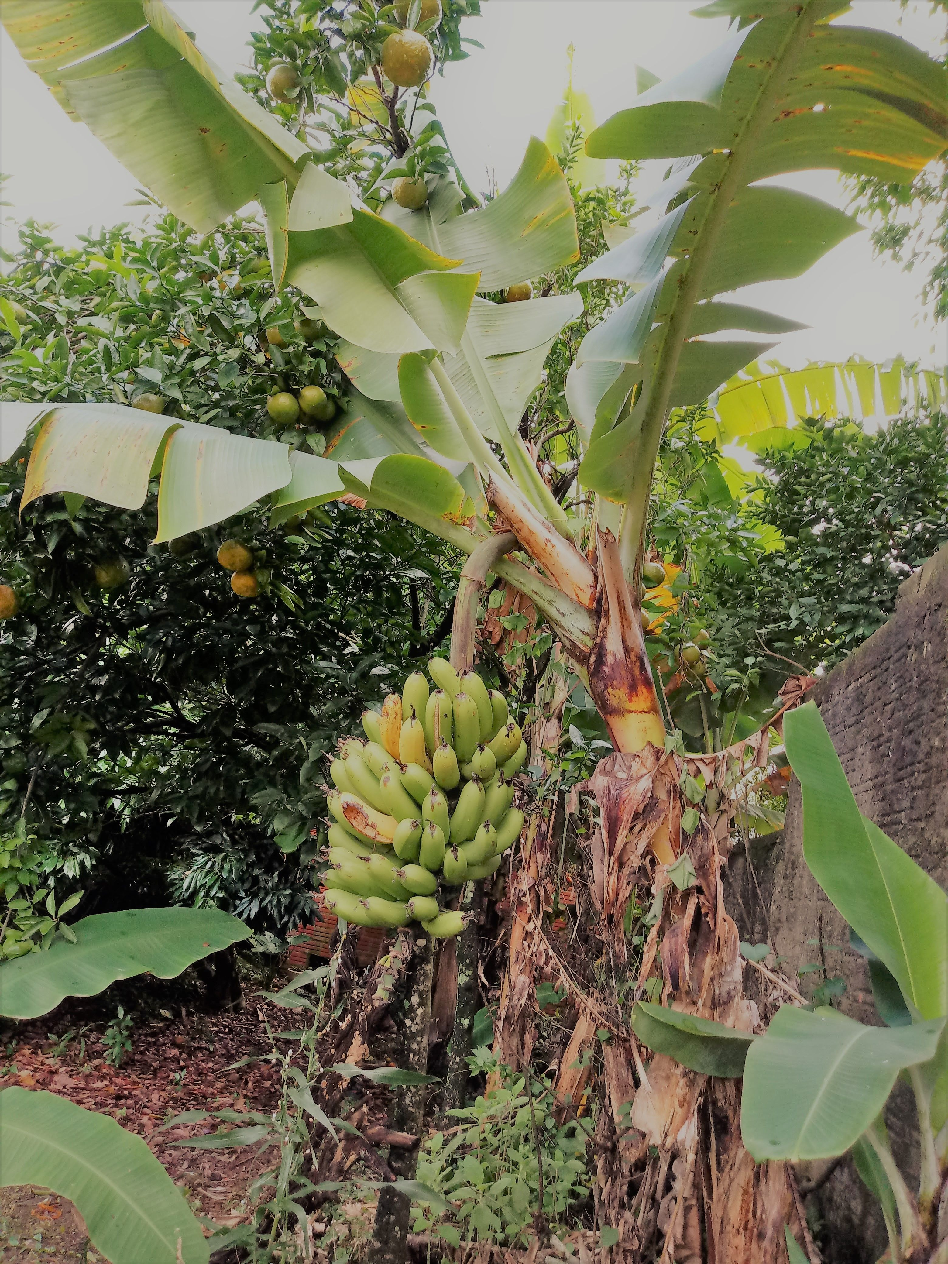 fruit tree mulch