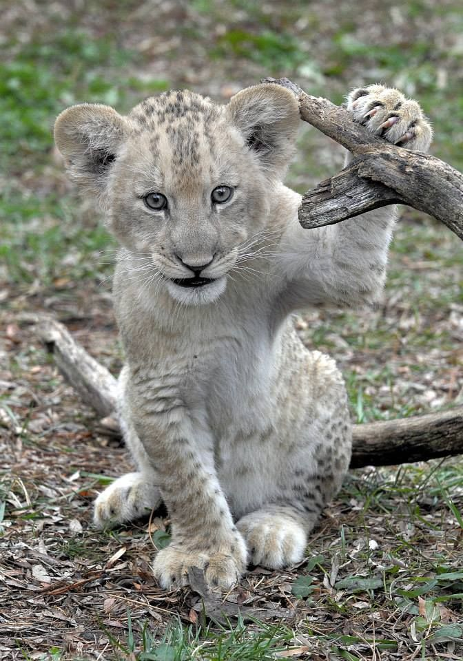one happy lion cub(/monkey?!): https://www.facebook.com/ZooBorns/photos/a.10153610351350654.1073742302.92023490653/10153610352560654/?type=1&theater
