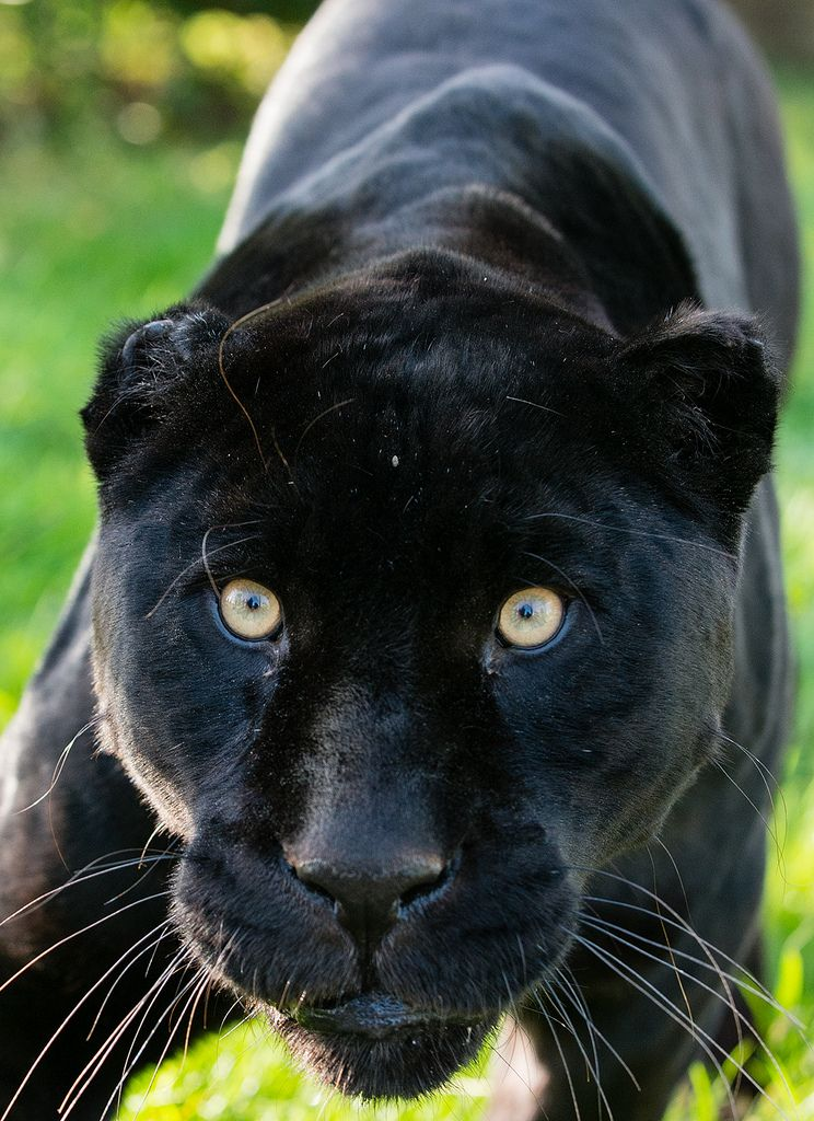 Black Jaguar By Julie S Hounds Black Jaguar Jaguar Animal Animals Beautiful