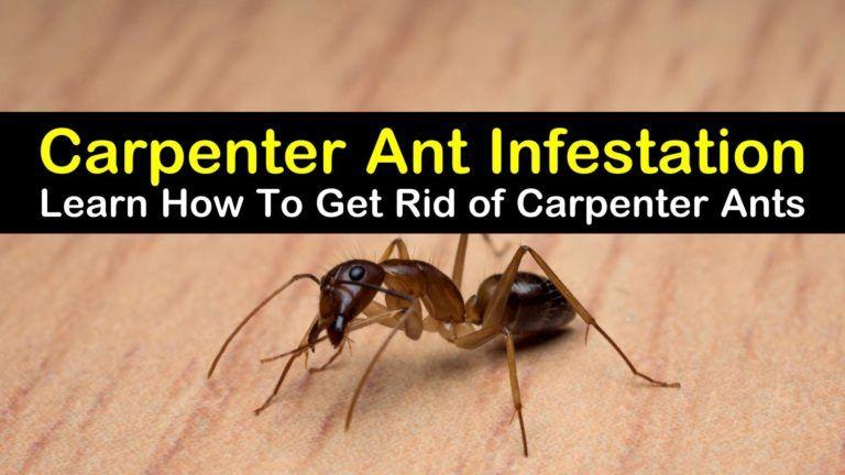 7 Ingenious Ways To Get Rid Of Carpenter Ants Ant