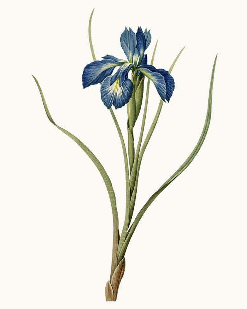 Vintage Flower Clipart Digital Download Blue Iris Etsy Flower Prints Art Antique Illustration Flower Illustration