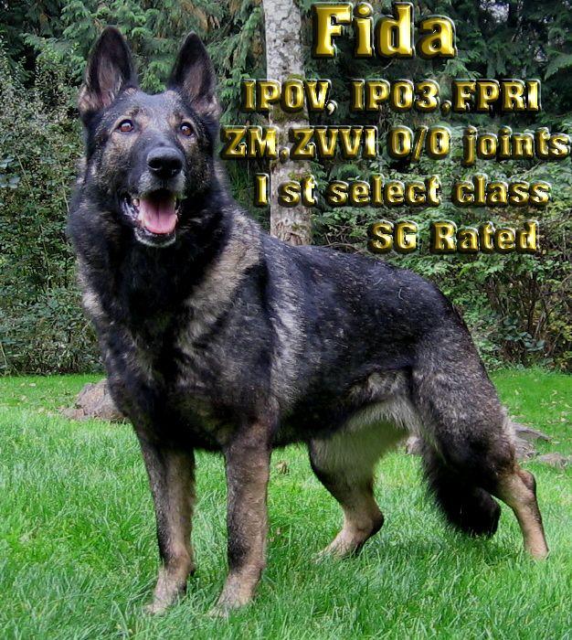 German Shepherd Dog Congo Vikar Van Den Heuvel K9 Czech German