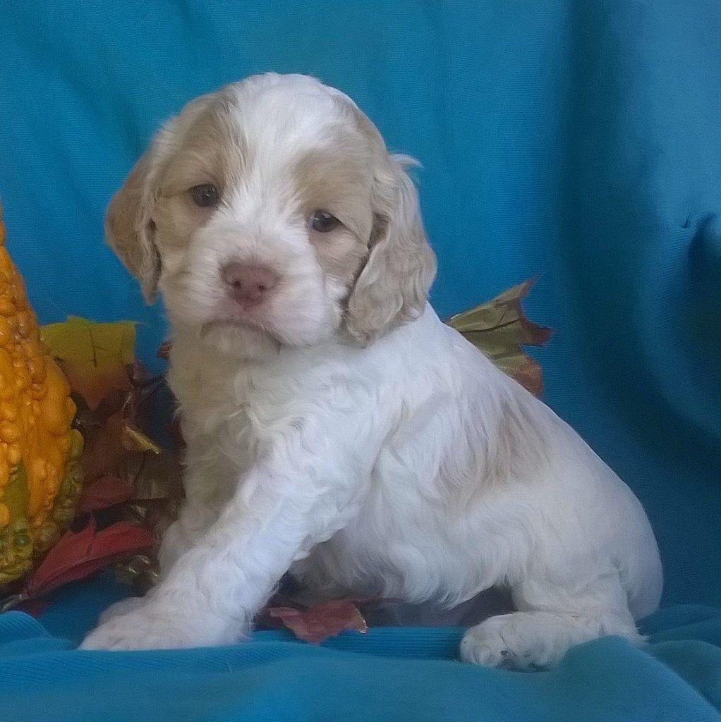 Charlie Male Cockapoo Puppy ( Full Price 1295 ) Deposit
